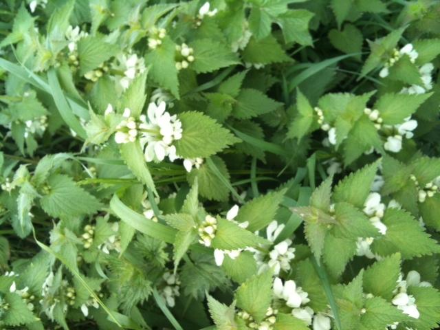 Mon doux lamier pourquoi on aime l 39 ortie blanche for Plante ortie